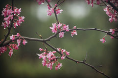 Pink Blossoms on Branches Waterdrops Stock Images