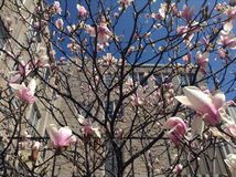 Pink blossoms and building perspective Royalty Free Stock Photos