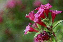 Pink Blossoms Of A Cardinal Shrub Royalty Free Stock Photos