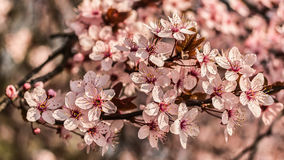 Pink Blossoms. The close up of pink blossoms at spring royalty free stock photo