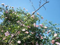 Briar-rose bush and blue sky. Pink blossoms and fresh green leaves of a briar-rose bush in the meadow near to our house against the bright, cloudless, blue sky stock photography