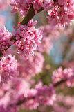 Pink Blossoms In Full Bloom On Eastern Redbud Tree Royalty Free Stock Photography