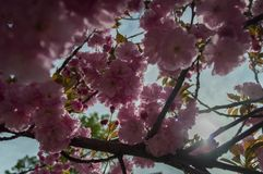 Pink blossoms on a tree in front of the sun. Pink blossoms in full bloom, viewed from below, as the sun beats down from above royalty free stock photos