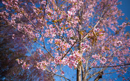 Pink blossoms of Himalaya Sakura Stock Image