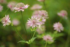 Pink blossoms if Astrantia major, the great masterwort Stock Image
