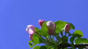 Pink blossoms isolated stock footage