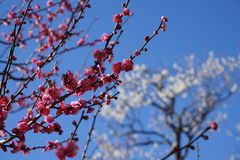 Pink blossoms of japanese plum tree Ume in japanese in early spring under blue sky Stock Images