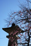 Pink blossoms of japanese plum tree Ume in japanese in early spring under blue sky Royalty Free Stock Photo
