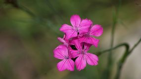 Pink blossoms on meadow. A flower with pink blossoms on a meadow Stock Images