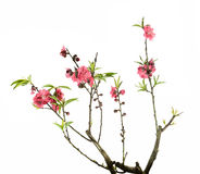 Pink blossoms Royalty Free Stock Image
