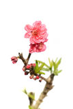 Pink blossoms Stock Images