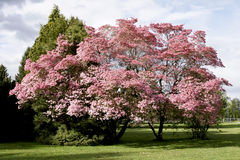 Pink Blossoms Tree Spring. Magnolia tree in spring with bright pink blossoms Stock Image