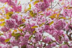 Pink blossoms on tree in spring with extreme bokeh stock image