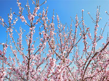 Pink Blossoms on Trees Stock Photography
