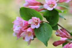Pink blossoms of Weigela Royalty Free Stock Image