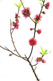 Pink blossoms Royalty Free Stock Photography