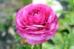 Pink blowing persian buttercup Stock Photography