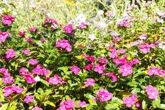 Pink blud geranium cinereum flower background, garden background royalty free stock image