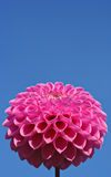 Pink on blue Royalty Free Stock Image