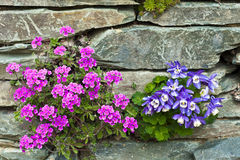 Pink and blue alpine flowers in a rockery. Royalty Free Stock Images