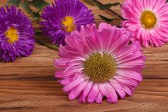 Pink and blue aster flowers Royalty Free Stock Photo