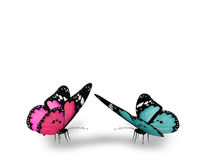 Pink and blue butterflies. Isolated on white background Stock Image
