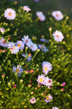 Pink, blue camomile on nature background Stock Image