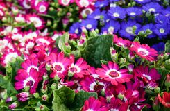Cineraria flower Stock Images