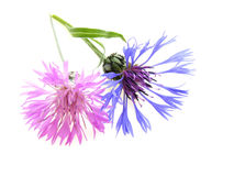 Pink and blue cornflower Stock Photography