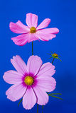 Pink on Blue Cosmos Royalty Free Stock Images