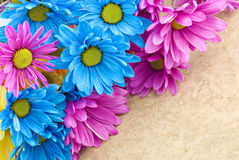 Pink and Blue Daisies Stock Photos