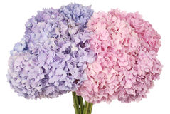Pink and blue flower hydrangea (Clipping path) Royalty Free Stock Photography