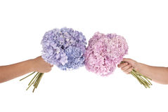 Pink and blue flower hydrangea in hands (Clipping path) Royalty Free Stock Photo