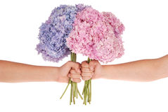 Pink and blue flower hydrangea in hands (Clipping path) Stock Image