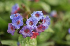 Pink and blue flower lungwort pulmonaria Royalty Free Stock Photography