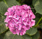 Pink and blue flowering Hydrangea plant Stock Photos