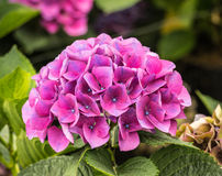 Pink and blue flowering Hydrangea plant Stock Image