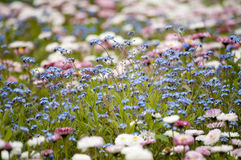 Pink and blue flowers Royalty Free Stock Photos