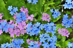 Pink and blue  Forget-me-not flowers close up. Group of small blue and pink forget-me-not flowers close up - bright spring background Stock Photo