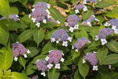 Pink and blue hortensia flowers Royalty Free Stock Photos