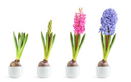 Pink and blue hyacinth blooming. Pink and blue hyacinth in different stages of blooming stock photography