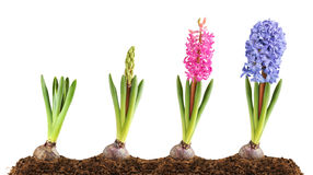 Pink and blue hyacinth blooming. Isolated flowers. Pink and blue hyacinth in the ground in a row in different stages of blooming, isolated on white background royalty free stock images