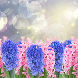 Pink and blue  hyacinth flowers Stock Photography