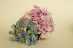 Pink and blue hydrangea Stock Photos