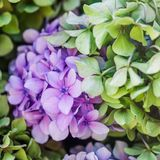 Pink and Blue Hydrangea Flowers in the Summer Garden. Close up image Royalty Free Stock Photos