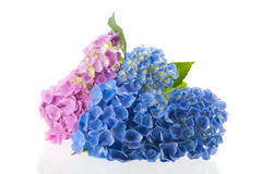 Pink and blue Hydrangea Royalty Free Stock Image