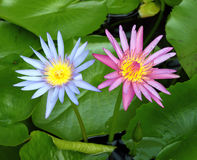 Pink and blue lotus blooming Stock Photo