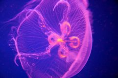 Pink Blue Moon Jellyfish - Aurelia aurita Stock Photos