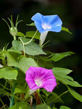 Pink and blue morning glory flower Royalty Free Stock Photo
