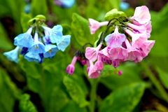 Lovely pink and blue Virginia bluebells blooming in the springtime sun. royalty free stock photo